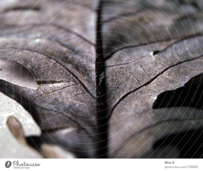 Herbstreste Farbfoto Nahaufnahme Detailaufnahme Makroaufnahme Blatt trist grau Tod trüb Blattadern Gefäße vertrocknet verdorrt bewegungslos herbstlich