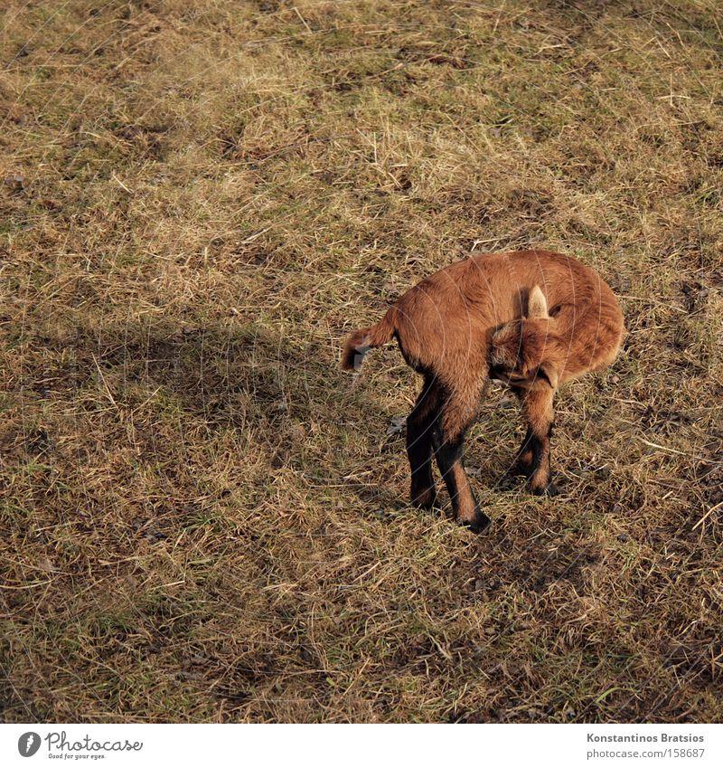 es juckt Farbfoto Außenaufnahme Tag Schatten Schwache Tiefenschärfe Tierporträt Natur Gras Wiese Feld Fell Nutztier 1 Tierjunges stehen niedlich weich braun