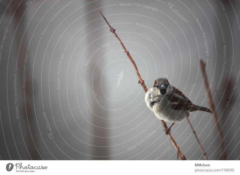 Woll`n wir einen zwitschern? Vogel Spatz Ast Sträucher Schnabel Aussicht Erholung Pause Rastplatz Winter kahl Gezwitscher Garten Park aufgeplustert Auge in Auge