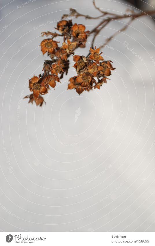 Alter Sommer Schnee Winter Sträucher getrocknet Blume Zweig weiß braun vertrocknet orange Blüte Natur Pflanze Park Rest
