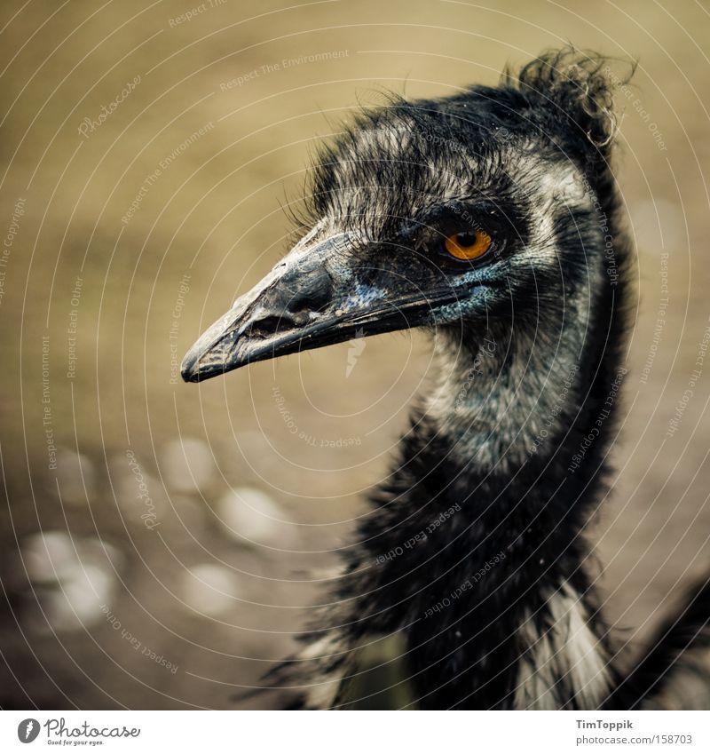 Germany's Next Top Emu Vogel Zoo Schnabel Blick Feder Laufvogel hässlich Tiergarten böse Australien schön