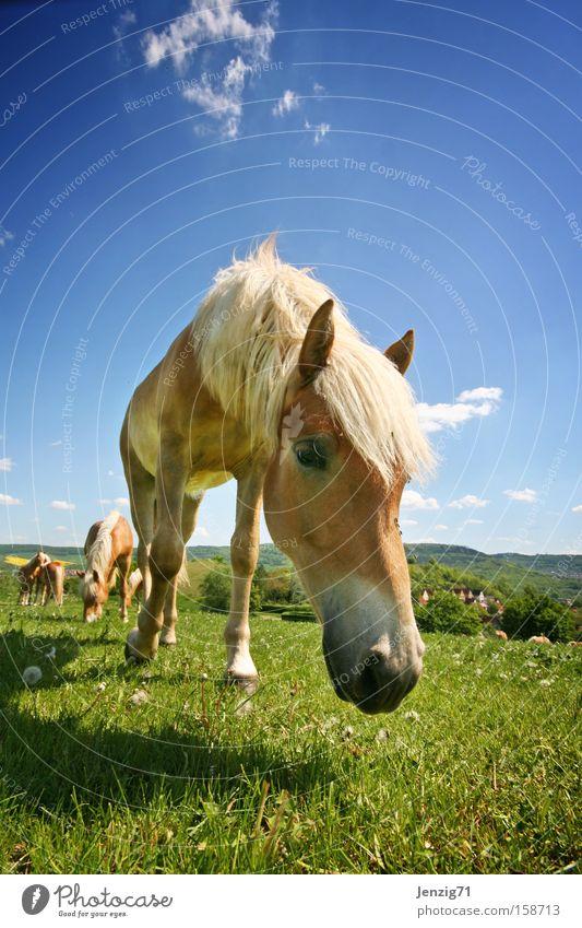Bess're Zeiten. Himmel Sommer Wiese Pferd Weide Säugetier Reiten Herde Haflinger