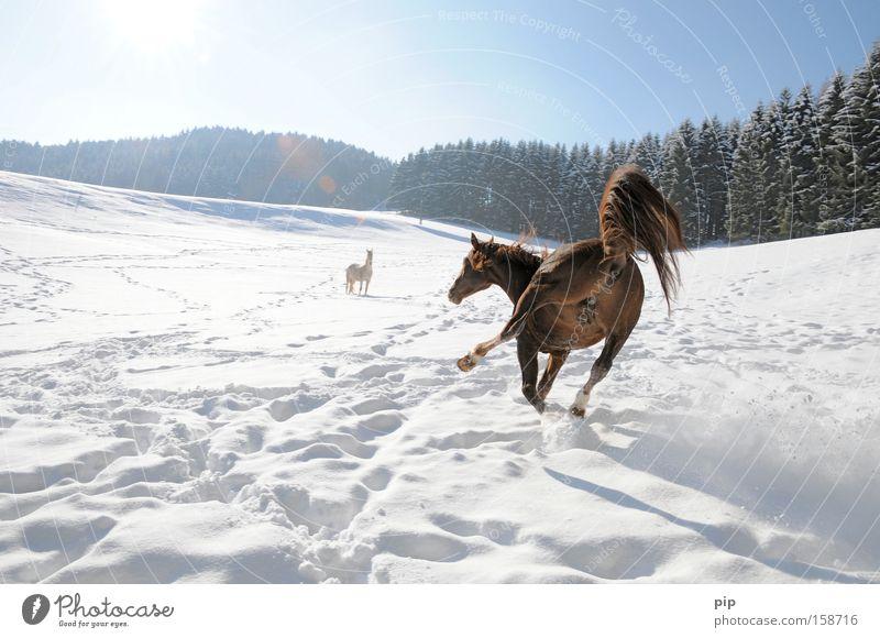 streckenweise glättegefahr Wald Schnee Tier Pferd Säugetier Glätte ausrutschen Missgeschick