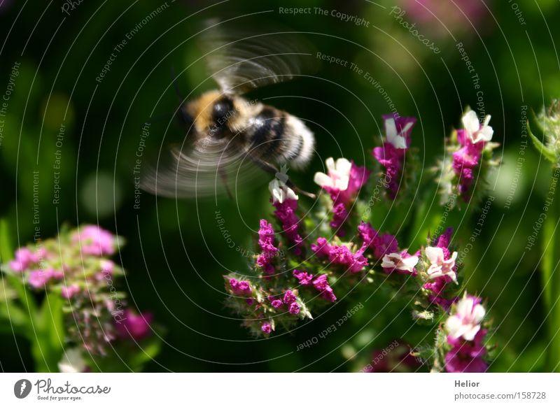 Hummeltanz rosa weiß grün gelb Insekt Beginn Sommer Dynamik Blüte Freude fleißig Blume Wunder Überraschung fliegen Luftverkehr