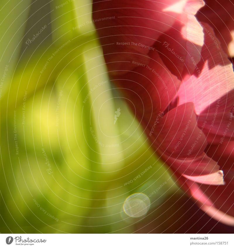 Tulpe Sonne Blume grün rot Blüte Frühling rosa Romantik Freundlichkeit Makroaufnahme Blütenblatt