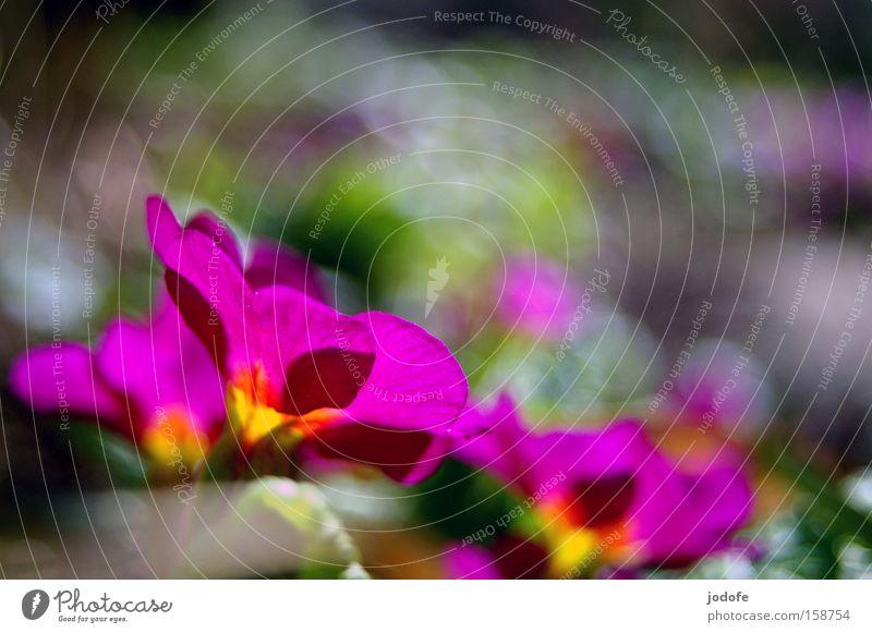 frühling schön Blume Blüte Frühling rosa violett Blühend aufwachen Blütenblatt Neuanfang Wiesenblume Kissen-Primel