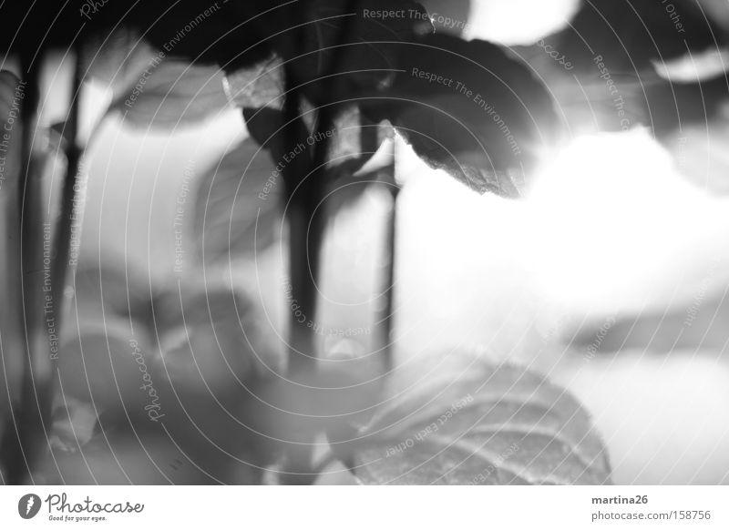 Minze unbunt Schwarzweißfoto Nahaufnahme Makroaufnahme Menschenleer Tag Gegenlicht Schwache Tiefenschärfe Kräuter & Gewürze Blatt Duft lecker Zufriedenheit