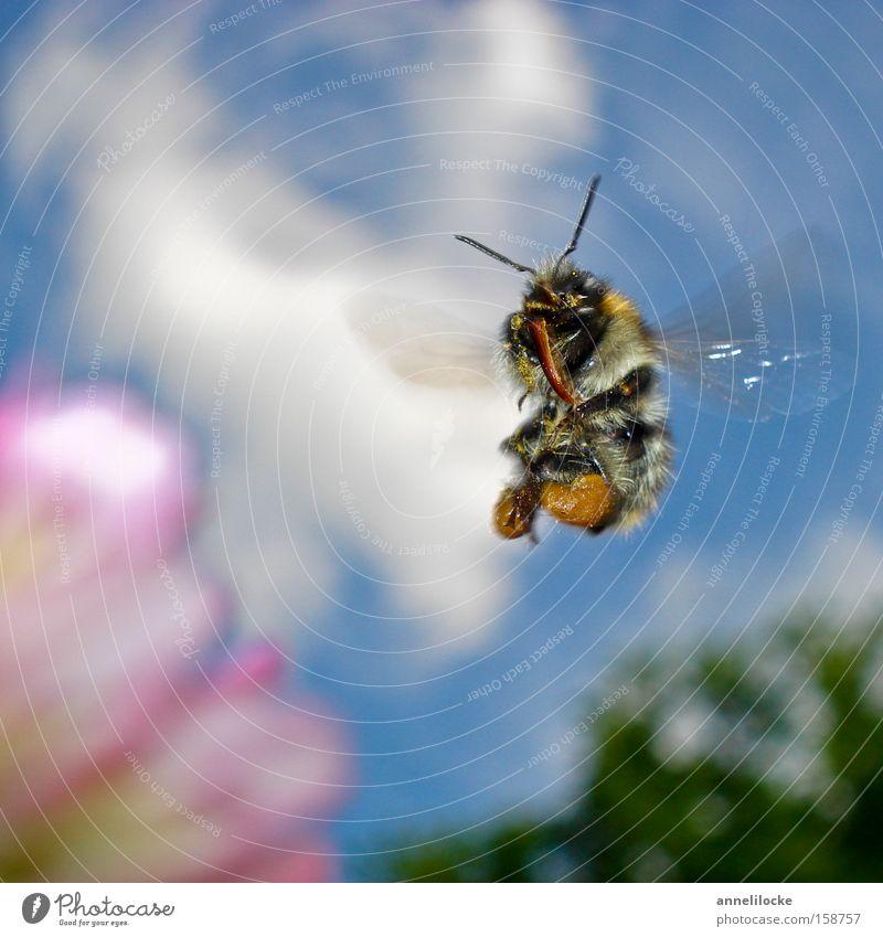 Hummel im Landeanflug Farbfoto Außenaufnahme Nahaufnahme Makroaufnahme Tag Licht Sonnenlicht Froschperspektive Sommer Natur Tier Himmel Frühling Schönes Wetter