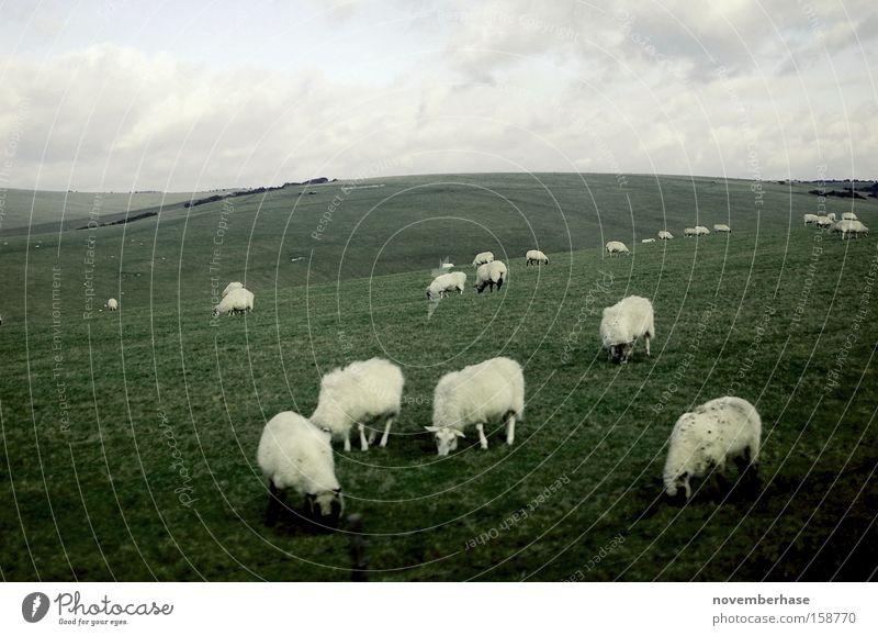 wolkige Rasenmäher Schaf Herde Gras Wolken blau grün Tier Erde Natur England weiß Landschaft Ebene Wolle