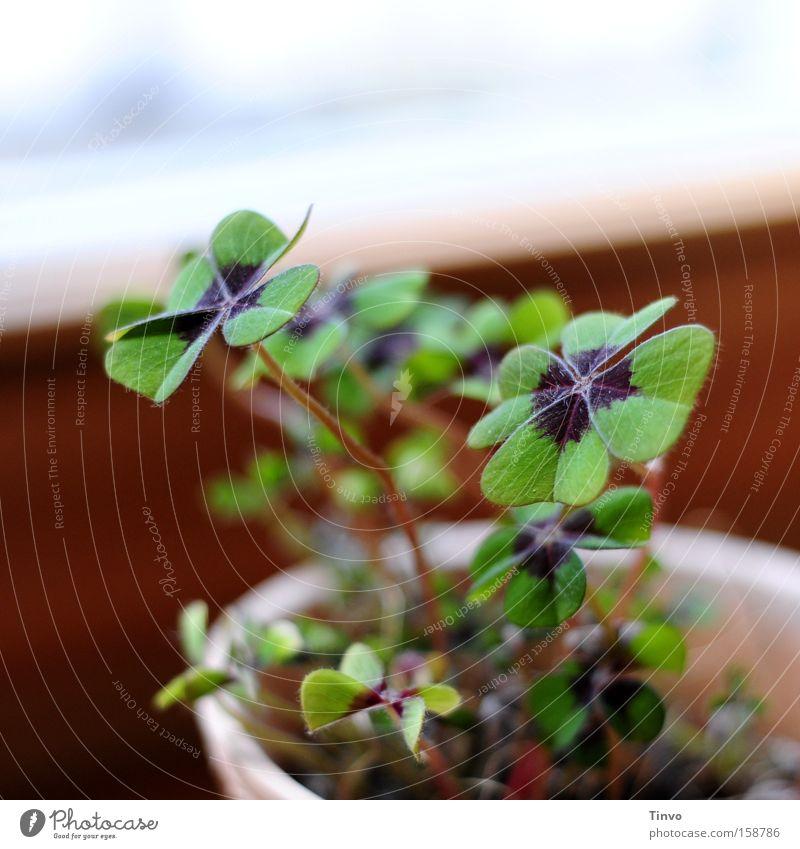 Glücksklee Zufriedenheit Fröhlichkeit Hoffnung Wunsch zart Klee Mexiko Kleeblatt Glücksbringer herzförmig Zierpflanze vierblättrig Sauerklee