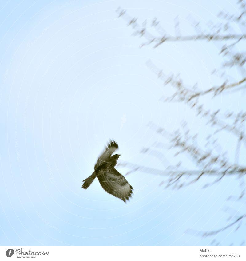Landeanflug Himmel Baum blau Bewegung Vogel fliegen Luftverkehr Ast Zweig Geäst Tier Greifvogel Bussard Mäusebussard