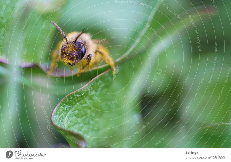 Schaut her Umwelt Natur Landschaft Pflanze Tier Frühling Blume Gras Sträucher Garten Park Wiese Wildtier Fliege Biene Tiergesicht Flügel 1 fliegen stechen Blatt