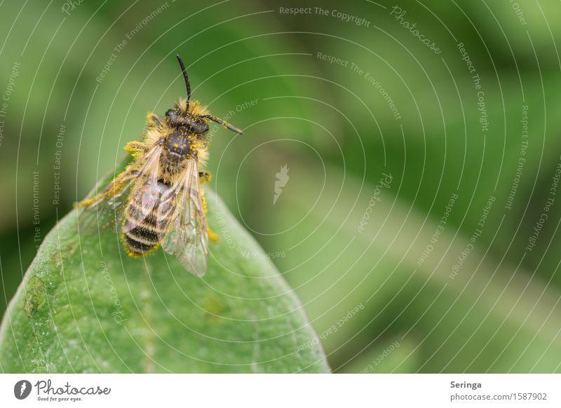 Erdbiene ( Andrena florea ) Natur Pflanze Tier Blume Sträucher Blatt Blüte Garten Park Wiese Feld Wald Wildtier Biene Flügel 1 fliegen Wespen Insekt Farbfoto