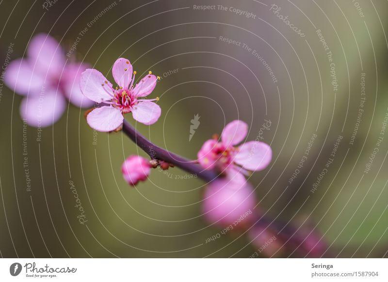 Blutpflaume oder so... Umwelt Natur Landschaft Pflanze Tier Baum Sträucher Blatt Blüte Wildpflanze Garten Park Blühend braun gelb grün violett rosa Pflaume