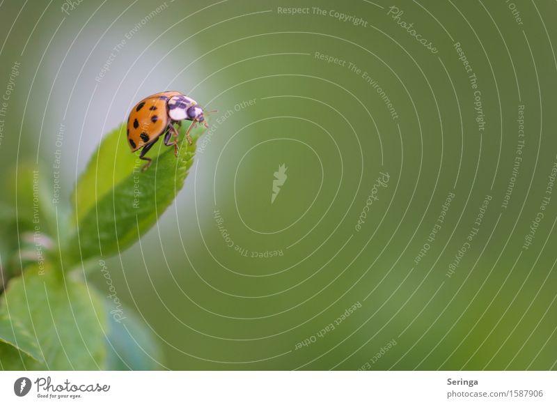 Glücksbringer Natur Pflanze Tier Frühling Garten Park Wiese Wildtier Käfer Tiergesicht Flügel 1 fliegen Blatt Marienkäfer Insekt Farbfoto mehrfarbig Nahaufnahme