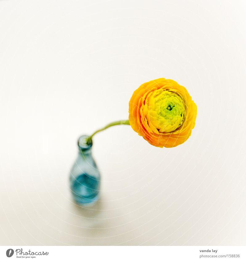 Ranunkel Blume Einsamkeit Liebe Frühling orange Wohnung Geburtstag Design Häusliches Leben Dekoration & Verzierung einzeln Blumenstrauß Jubiläum Vase