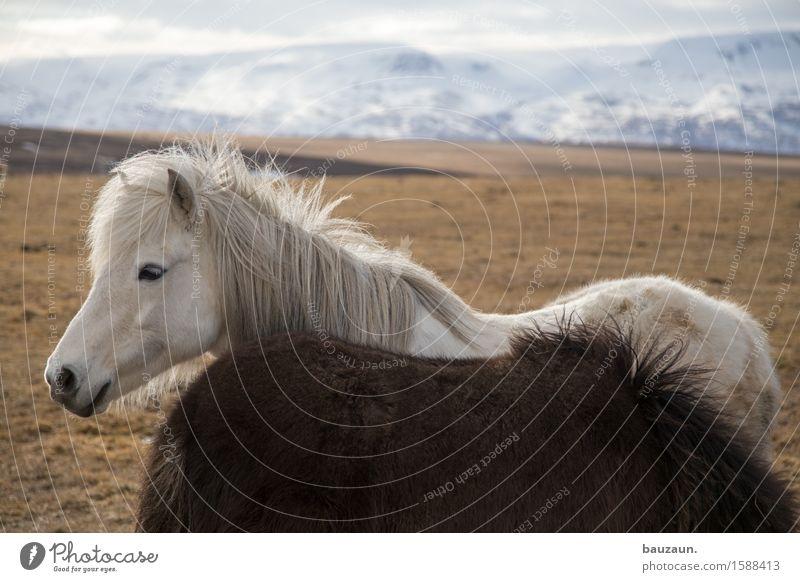 flocke. Freizeit & Hobby Reiten Reitsport Umwelt Natur Landschaft Erde Klima Wetter Schönes Wetter Eis Frost Gras Berge u. Gebirge Island Tier Pferd
