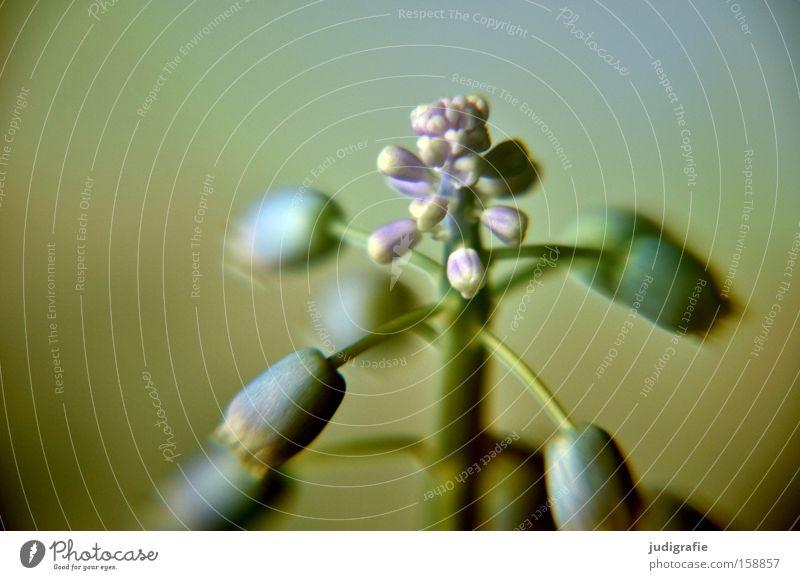 Blumentopf Traubenhyazinthe Frühling Zwiebel Blüte zart Blühend Natur Wachstum Farbe Makroaufnahme Nahaufnahme