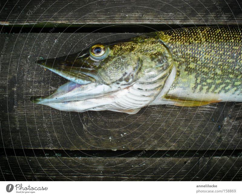 Glück gehabt Ernährung Tier Tod Holz See Fisch Fluss Tiergesicht fangen Wildtier Steg Seeufer Flussufer Angeln Maul Fischereiwirtschaft