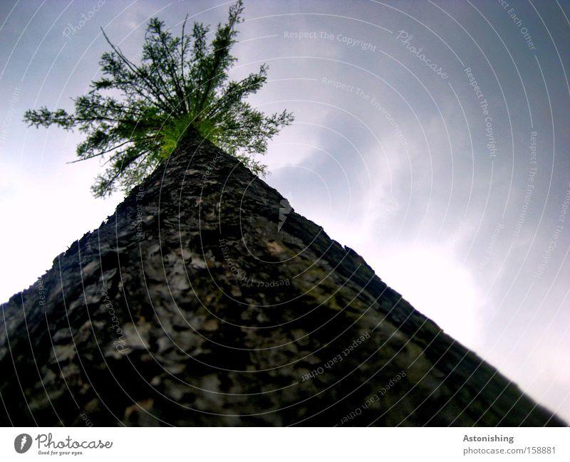 in den Himmel? - da wächst du schon noch rein! Natur Himmel Baum Wolken Holz hoch Wachstum Ast Baumstamm Zweig Geäst Baumrinde Höhe Zweige u. Äste Nadelbaum