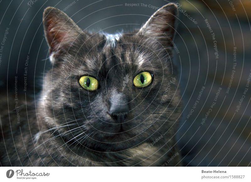 flauschig | da wird es selbst ihm manchmal zu haarig! Leben Gesicht Auge Ohr Natur Tier Pelzmantel Haustier Katze Tiergesicht Fell beobachten glänzend