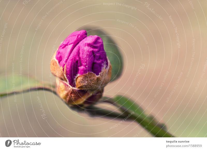 Pink brain Gehirn u. Nerven Umwelt Natur Pflanze Blatt Blüte Wildpflanze Blütenknospen Garten Park braun rosa Farbfoto mehrfarbig Außenaufnahme Makroaufnahme
