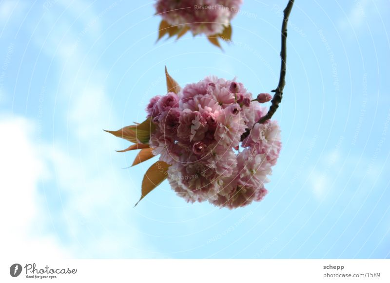 parkblume Blume Wolken Frühling Sommer Blüte rosa Pflanze Himmel Ast