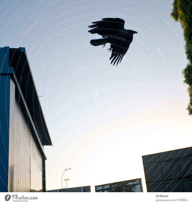 66 [vater rabe] Luftverkehr Vogel Flügel fliegen Traurigkeit bedrohlich frei schwarz gefährlich Desaster Vergänglichkeit Rabenvögel Krähe Kolkrabe Feder