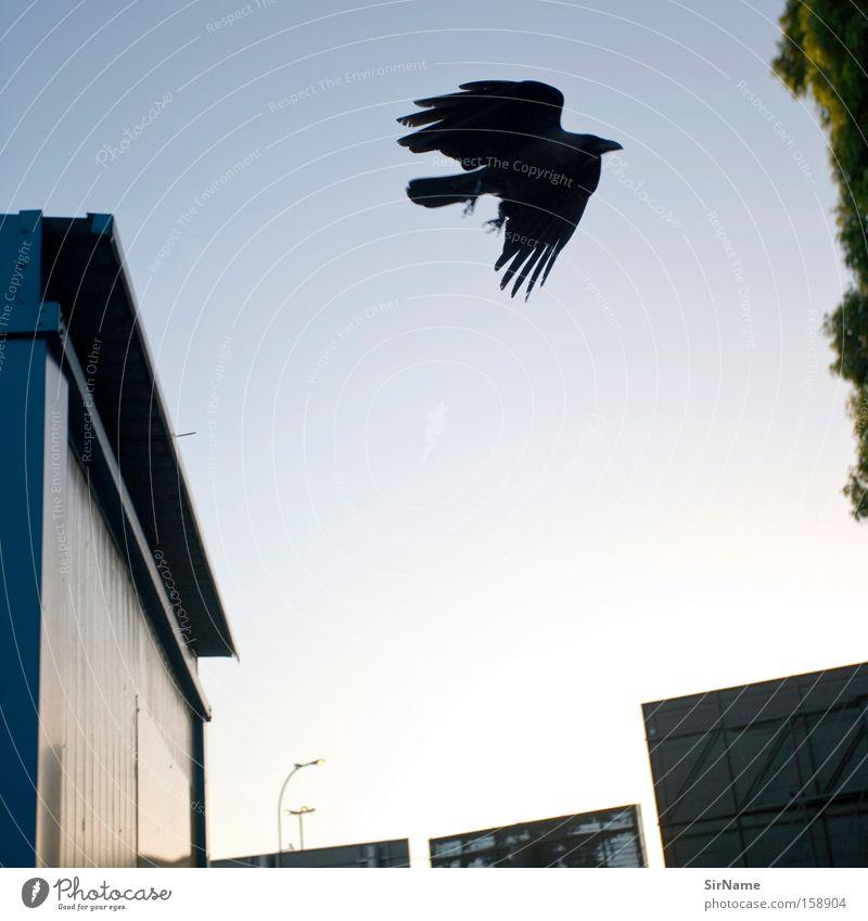 66 [vater rabe] schwarz Traurigkeit Vogel fliegen frei Luftverkehr gefährlich Feder bedrohlich Flügel Vergänglichkeit Desaster Krähe Rabenvögel Kolkrabe