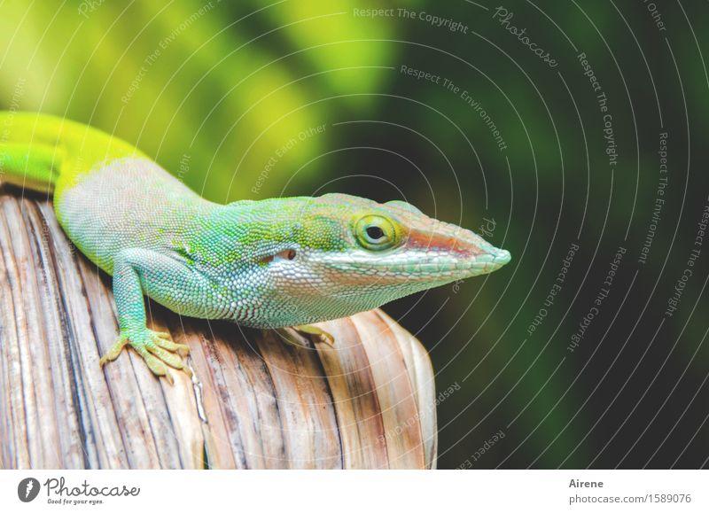 Weißabgleich Natur Tier Kuba Gecko Reptil Echsen Leguane Anolis 1 Blick außergewöhnlich einzigartig Neugier schön mehrfarbig gelb grün türkis neongelb