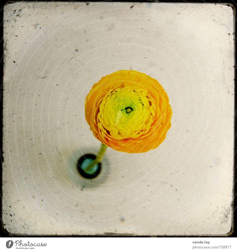 TTV Ranunkel grün Pflanze Blume gelb Frühling Wohnung Geburtstag Design Innenarchitektur Häusliches Leben außergewöhnlich Dekoration & Verzierung Wohnzimmer