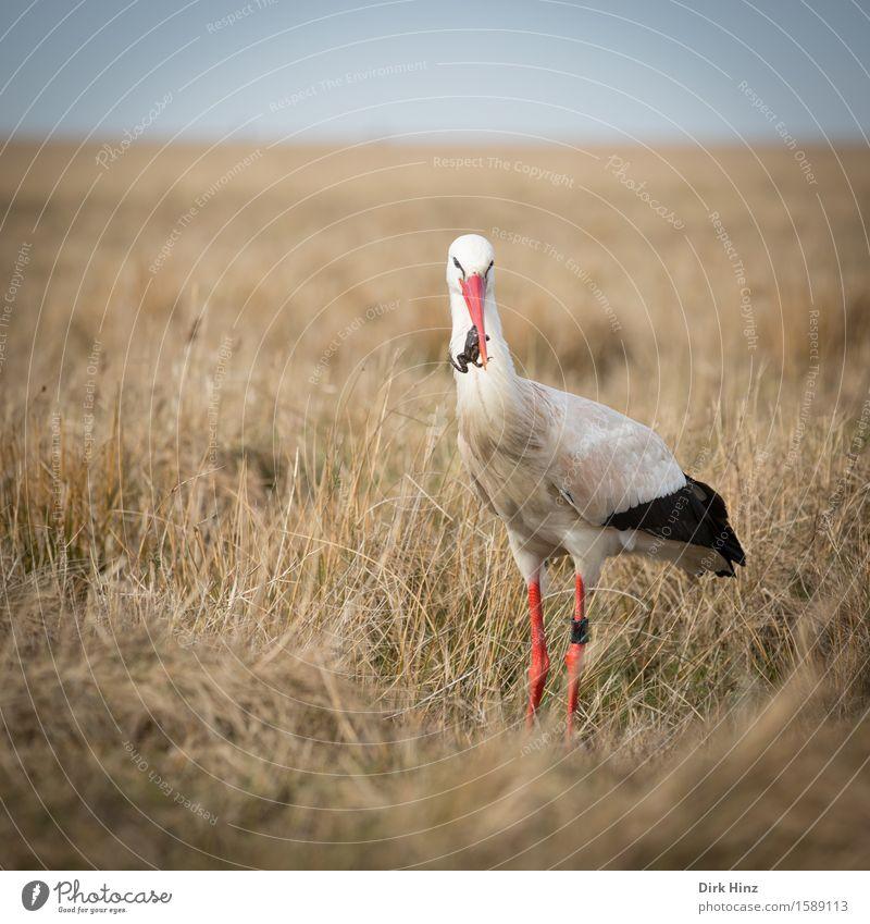 Storch mit Frosch IV Wildtier Vogel 1 Tier Horizont Tourismus Umwelt Umweltschutz Wiese Fressen Nahrungssuche wild Appetit & Hunger Lebensmittel Gleichgewicht