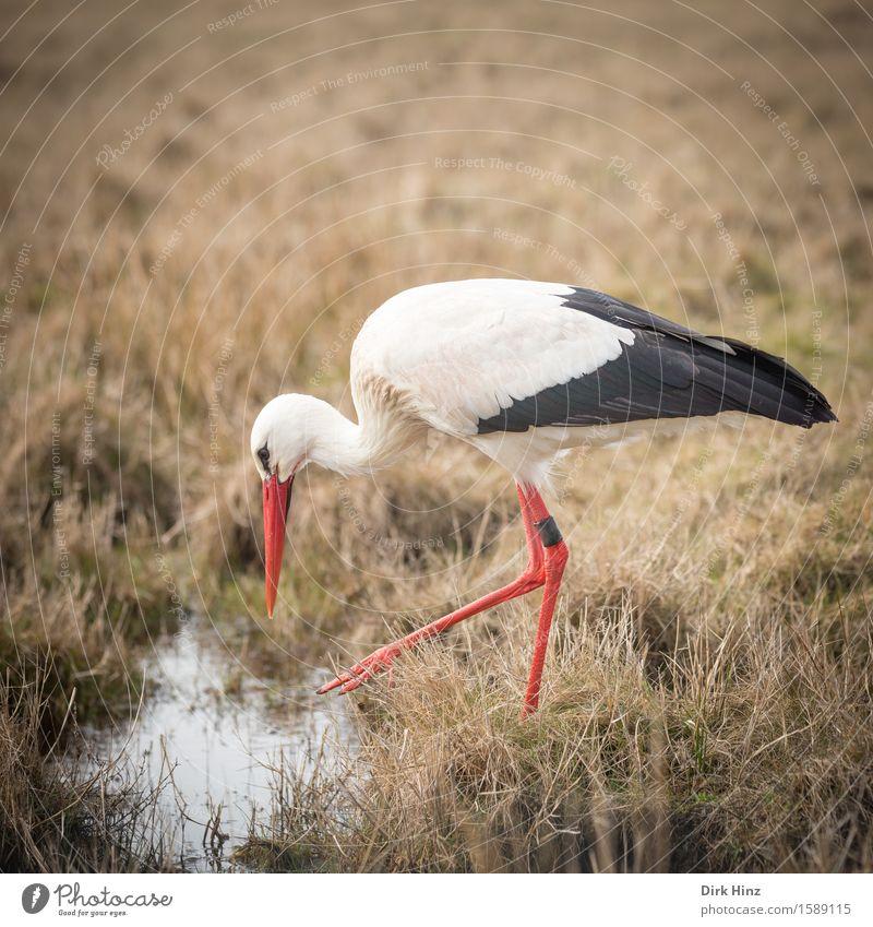 Storch III Ferien & Urlaub & Reisen rot Tier Umwelt Wiese natürlich Vogel gehen Horizont Tourismus wild elegant frei Wildtier Geburtstag Suche