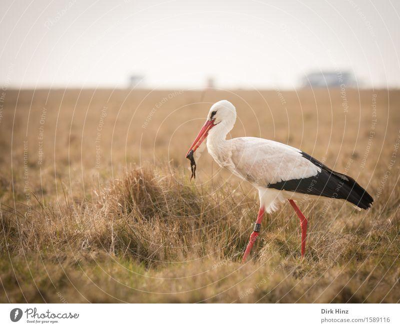 Storch mit Frosch VII Umwelt Natur Wiese Nordsee Wildtier Vogel Flügel 2 Tier rot Tourismus Umweltschutz Fressen Nahrungssuche Schnabel Beine Weißstorch Adebar