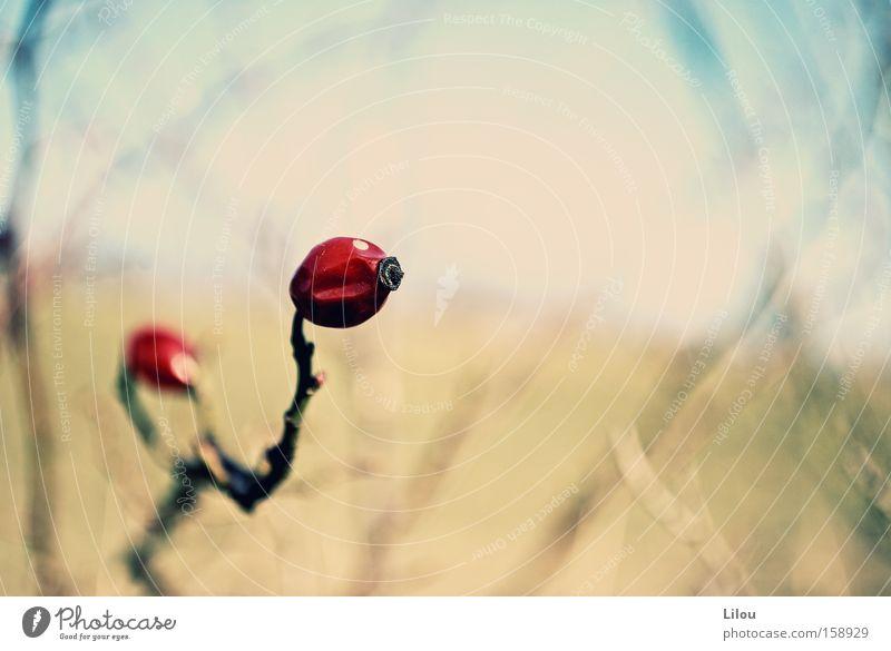 Was übrig bleibt... Rose Zweig Ast Gras Feld Winter Herbst Wind Makroaufnahme Landschaft rot blau gelb beige getrocknet Hundsrose