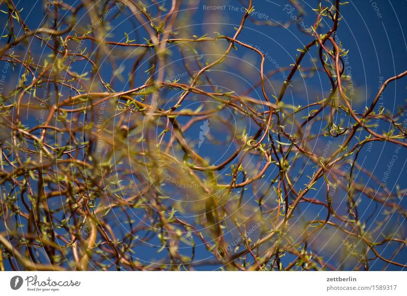 Salix matsudana Frühling Garten Himmel Schrebergarten Licht Menschenleer Sonne Textfreiraum Pflanze Wärme Weide Korkenzieher-Weide Tiefenschärfe
