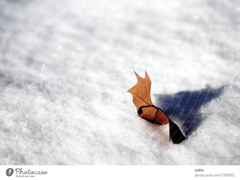 Nachzügler weiß Winter Blatt Einsamkeit kalt Schnee braun spät Absturz welk Platane Herbstfärbung