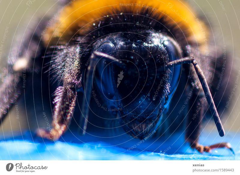 Königin wie vom anderen Stern blau Tier Wald schwarz gelb Blüte Frühling Wiese Beine Kopf Feld Fell Biene gestreift Pollen Fühler