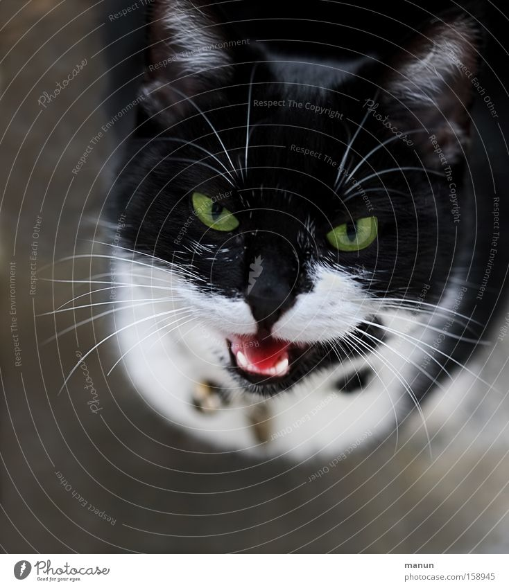 Miau! Jagd Veterinär Tier Haustier Katze Hauskatze Kommunizieren Blick authentisch schön schwarz weiß Vertrauen Tierliebe achtsam Leben Schleichkatzen