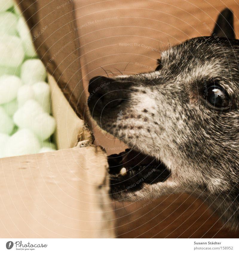 Hmm, lecker Pappkiste!!! Hund Fressen Appetit & Hunger Pappschachtel Papier Polster Güterverkehr & Logistik Maul Mund Gebiss alt Auge Ohr Fell Nase Säugetier