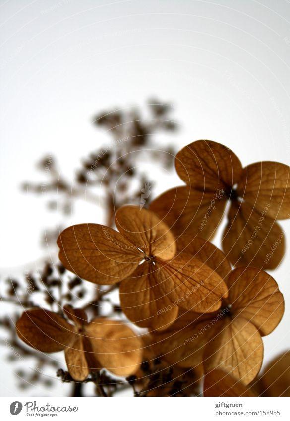 in remembrance of better days Blume Pflanze Winter ruhig Herbst Tod Blüte Trauer Vergänglichkeit Vergangenheit trocken Verzweiflung Zweig Erinnerung verblüht getrocknet