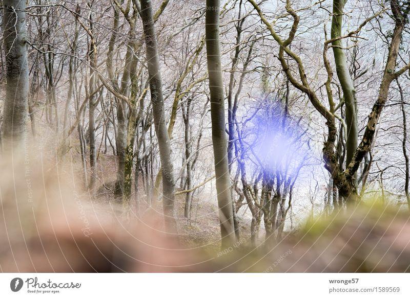 Blau ist angesagt Natur Landschaft Pflanze Frühling Baum Blüte Leberblümchen Wald Ostsee Buchenwald blau braun grau grün Waldrand Blume Blütenpflanze Unschärfe