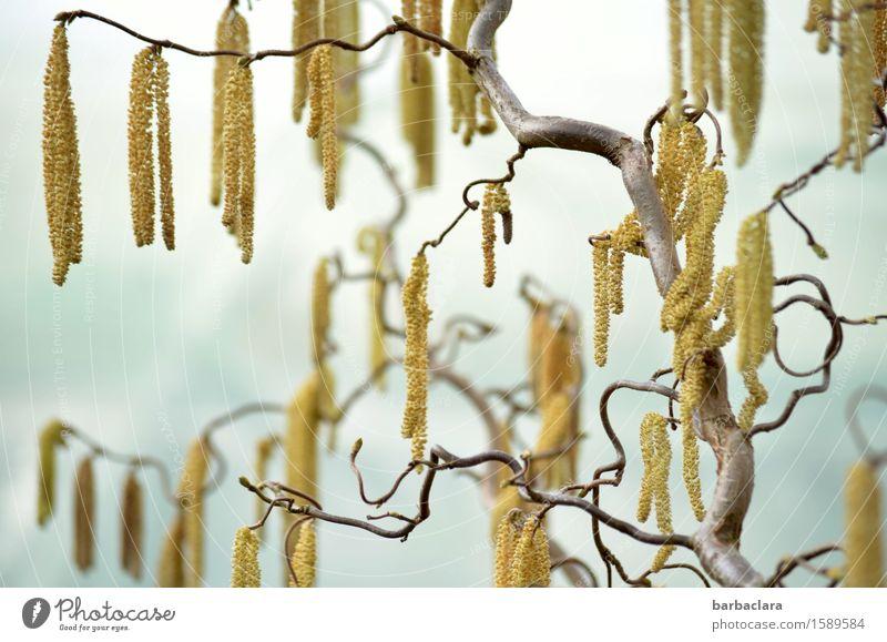 Baumschmuck Natur Pflanze Himmel Frühling Klima Sträucher Zweige und Äste Haselnuss Blühend hell gold Frühlingsgefühle bizarr Umwelt Farbfoto Außenaufnahme