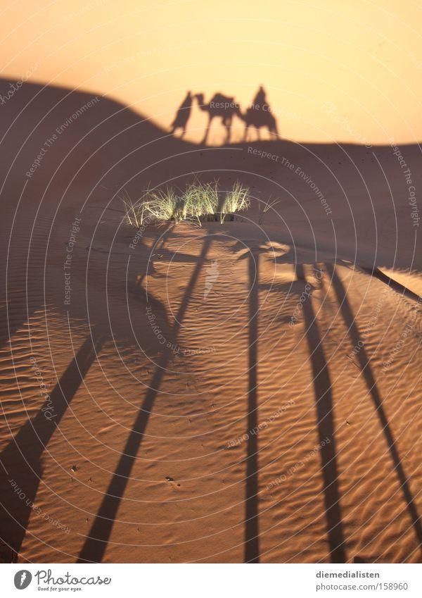 morgenstund Sahara Wüste Kamel Dromedar Schatten Wärme Berber Marokko Merzouga Morgen langbeinig langhaarig Schattenspiel Sonne Afrika Erde Sand
