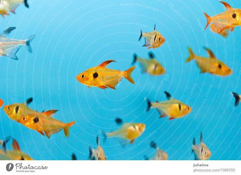 Aquariumfische im blauen Wasser türkis Fisch Zebrasom flavescens Aulonokara baenschi Cyphotilapie Frontosa Dascyllus Trimakulatus Melanurus Aruanus pterois