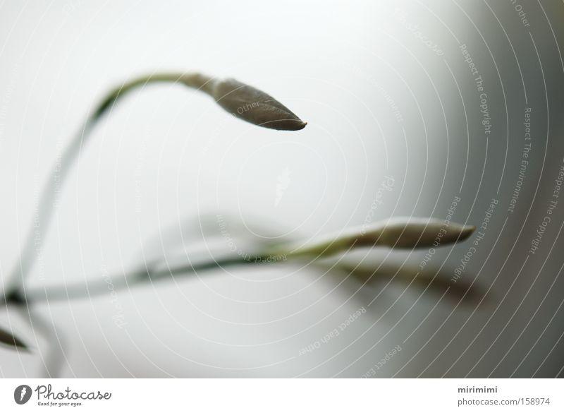 Yasmin II weiß Blüte Unschärfe Pflanze Blütenknospen Blume Makroaufnahme Nahaufnahme Vor hellem Hintergrund