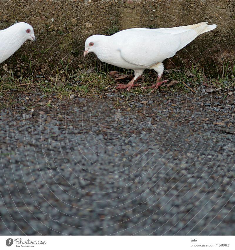 Es waren mal zwei Täubchen... weiß Tier Stein Mauer Vogel Boden Frieden Feder Flügel Verkehrswege Taube
