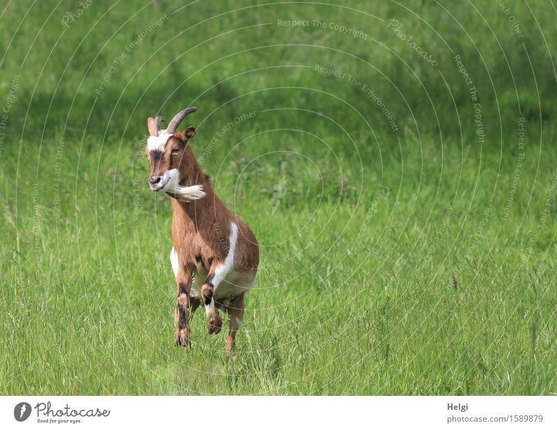 Lebensfreude... Umwelt Natur Landschaft Pflanze Tier Sommer Gras Wiese Nutztier Ziegen 1 springen authentisch einzigartig natürlich braun grün weiß Freude
