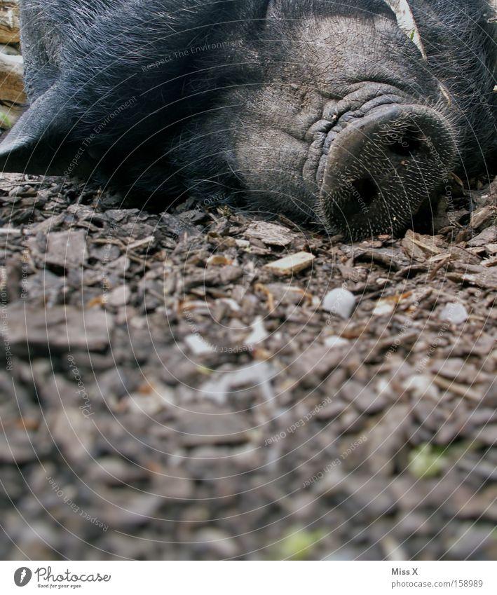 A Sugl Tier Fell Wildtier schlafen Langeweile Müdigkeit Wildschwein Sau Schwein Ferkel Hängebauchschwein Eber Kopf liegen Farbfoto Außenaufnahme Nahaufnahme