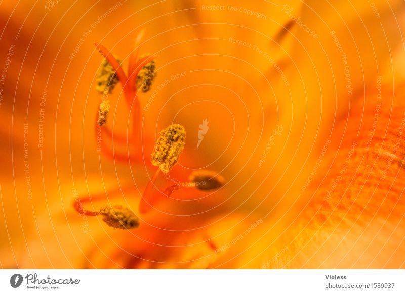 ...burning Pflanze Blume Blüte Stempel Blütenblatt Duft weich orange sanft duftig zart Pastellton Meditation Makroaufnahme Schwache Tiefenschärfe Unschärfe